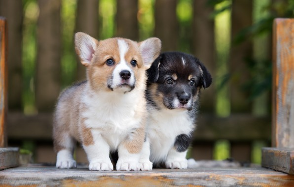 Картинка щенки, милые, корги