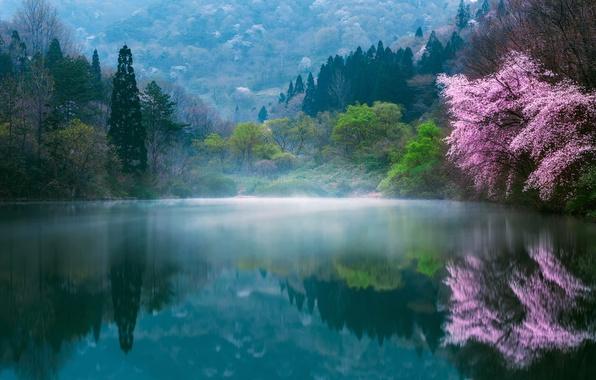 Картинка цветы, природа, туман, озеро, весна, Япония, сакура, дымка, дервья