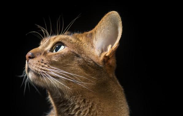 Картинка кот, профиль, ушки