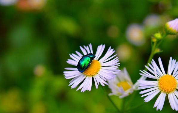 Картинка ромашки, Макро, Цветы, жук, Flowers, Боке, Насекомое, Bokeh, Macro