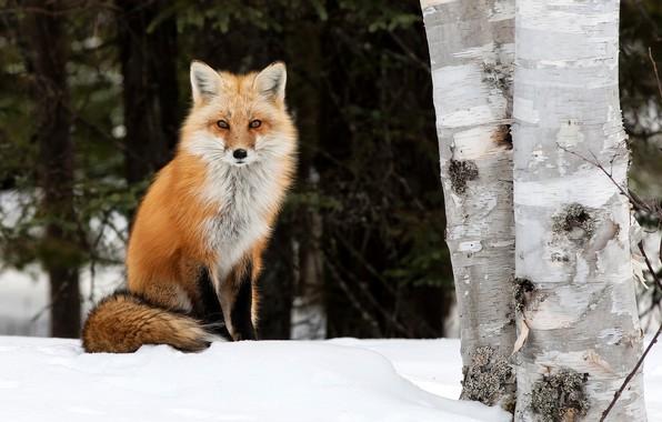 Картинка зима, деревья, природа, животное, лиса, берёзы, лисица, Peter Darcy