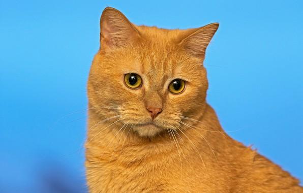 Картинка кошка, фон, портрет, мордочка, рыжий кот, котейка, фзгляд
