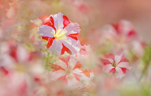 Картинка лето, цветы, цветение, петунии, бело розовые