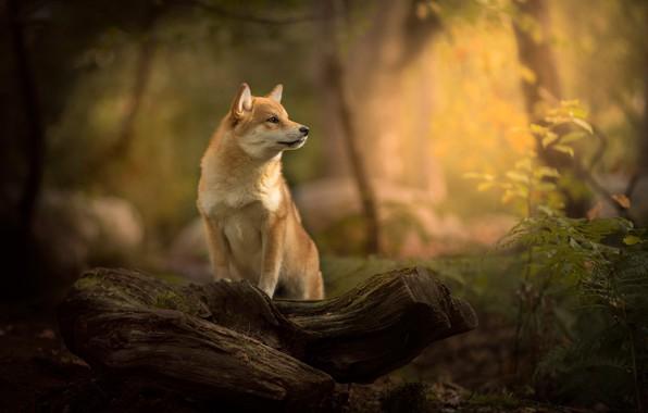 Картинка лес, собака, бревно, боке