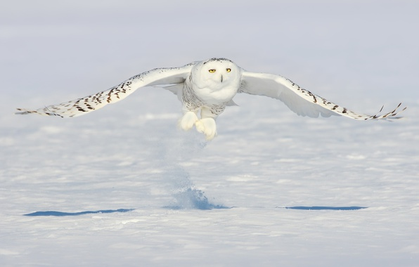 Фото обои снег, сова, птица