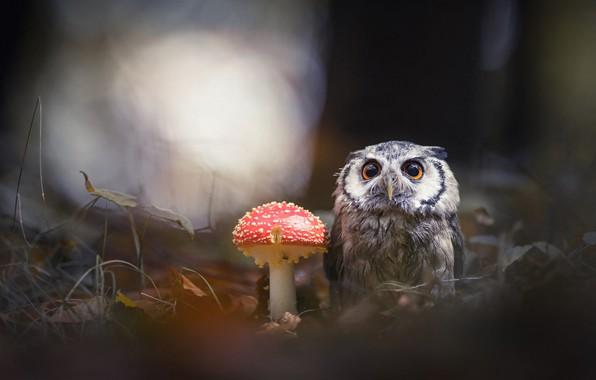 Картинка лес, животные, природа, темный фон, фон, сова, птица, гриб, мухомор, филин