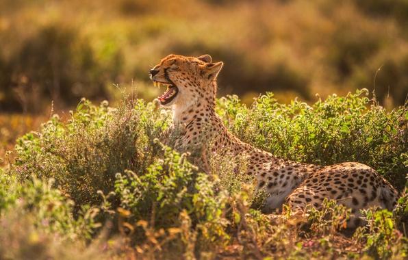 Картинка свет, хищник, зубы, пасть, гепард, зевает