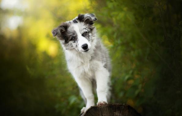 Картинка зелень, щенок, собачка, Alice, боке, Австралийская овчарка, Аусси