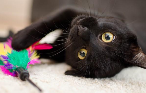 Картинка кошка, глаза, кот, морда, крупный план, фон, черный, игрушка, игра, портрет, перья, желтые, лежит, коврик