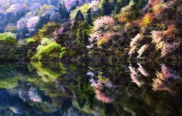 Картинка деревья, природа, озеро, человек, весна, сакура, Корея, Южная Корея, 대한민국, искусственный водоем, уезд Hwasun, 전라남도, …