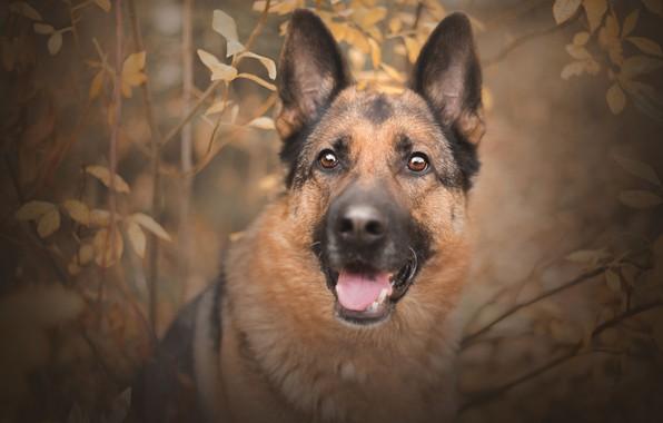Картинка осень, взгляд, морда, ветки, портрет, собака, овчарка