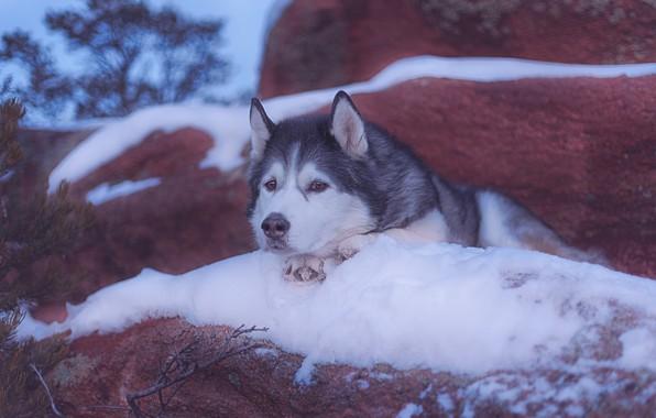 Картинка взгляд, морда, снег, собака, Аляскинский маламут