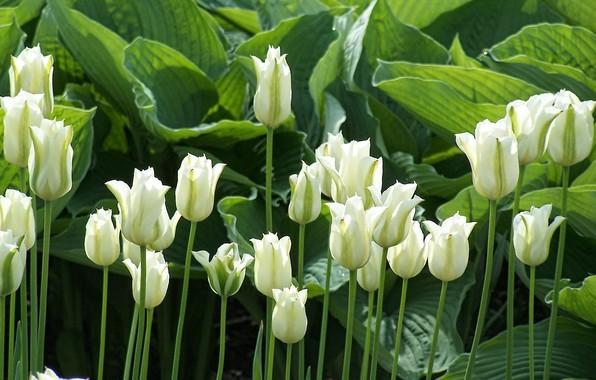 Картинка зелень, листья, цветы, стебли, весна, солнечный свет, белые тюльпаны, свет и тень