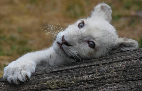 Картинка белый, глаза, взгляд, морда, кошки, природа, поза, фон, лапа, портрет, лев, бревно, дикие кошки, львенок, …