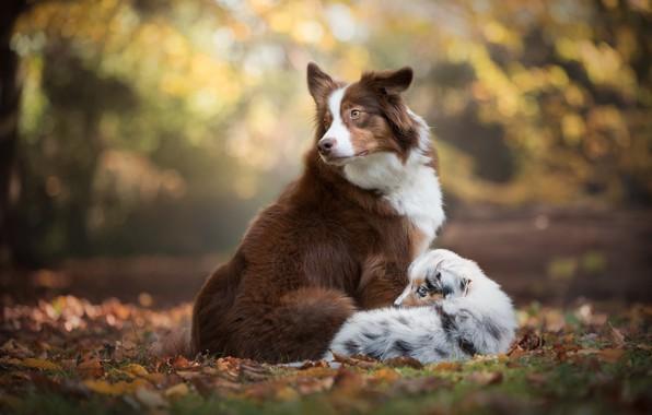 Картинка осень, собаки, листья, листва, щенок, боке, Австралийская овчарка, Бордер-колли