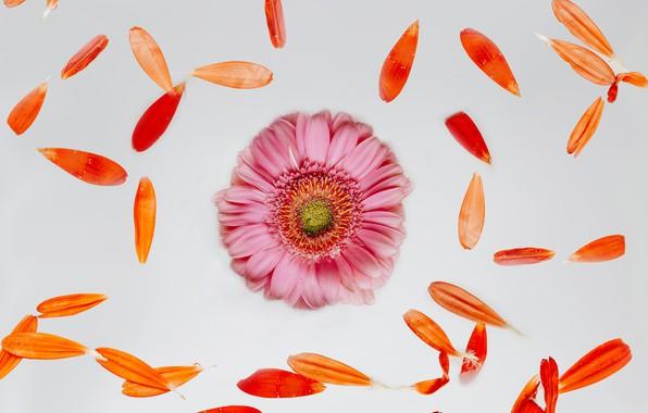 Картинка цветок, лепестки, бутон, flower, pink, petals