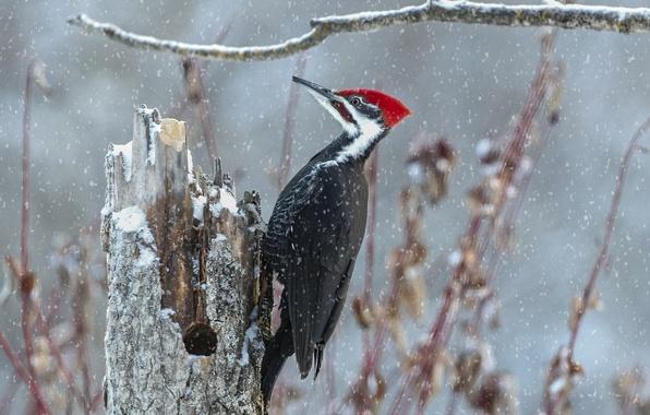 Картинка снег, птица, пень, ветка, дятел