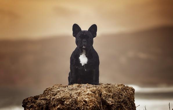 Картинка фон, портрет, собака, Французский бульдог