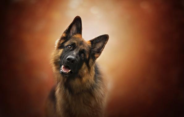 Картинка взгляд, морда, фон, собака, Немецкая овчарка