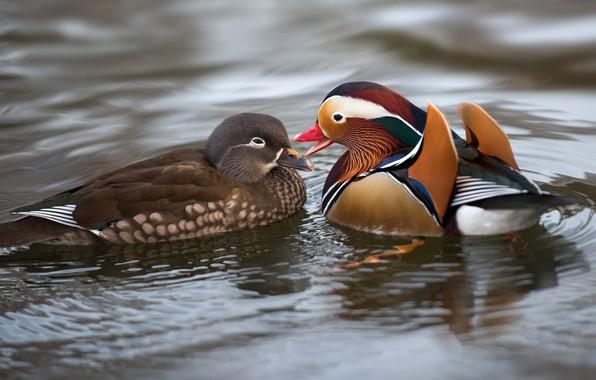 Картинка вода, любовь, птицы, природа, пруд, утки, пара, влюбленные, утка, водоем, самка, самец, яркое оперение, мандаринка, …