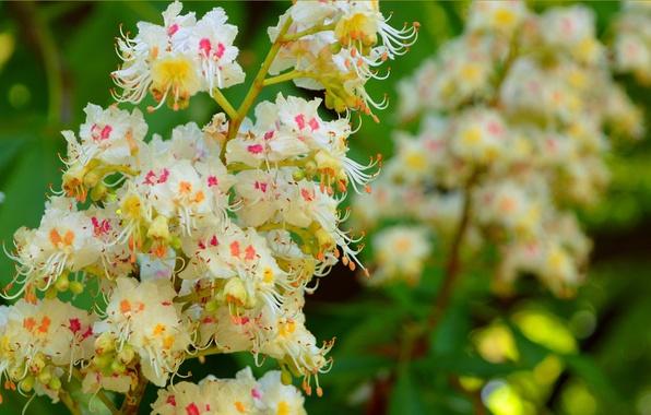 Картинка Весна, Spring, каштан, Цветение, Flowering