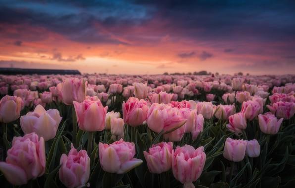Картинка поле, рассвет, утро, тюльпаны, розовые, Нидерланды, бутоны, много, плантация