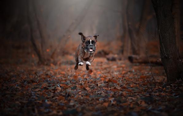 Картинка осень, собака, бег