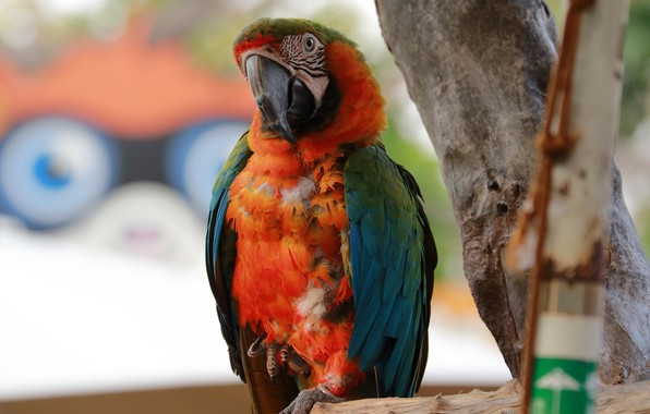 Картинка природа, отдых, птица, попугай, ара