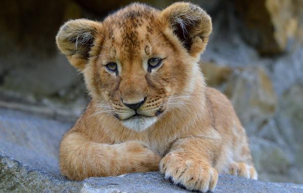 Картинка взгляд, морда, кошки, природа, камни, фон, портрет, лев, лапы, лежит, дикие кошки, львенок, зоопарк, львёнок