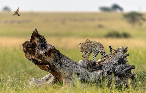 Картинка дерево, птица, хищник, леопард, грация, коряга