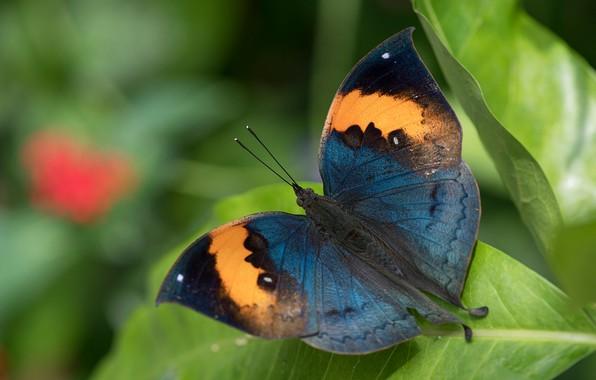 Картинка листья, макро, бабочка, крылышки, Каллима
