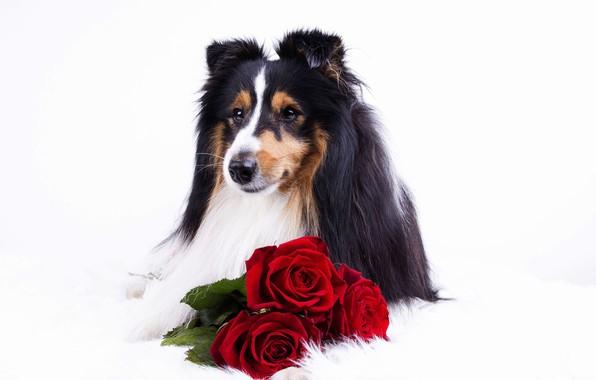 Картинка цветы, животное, розы, собака, пёс, колли
