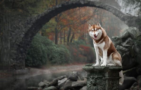 Картинка осень, мост, природа, собака, Хаски
