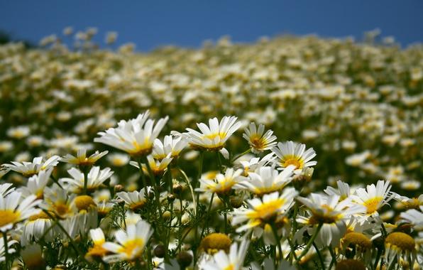 Картинка поле, лето, небо, цветы, природа, ромашки, лепестки