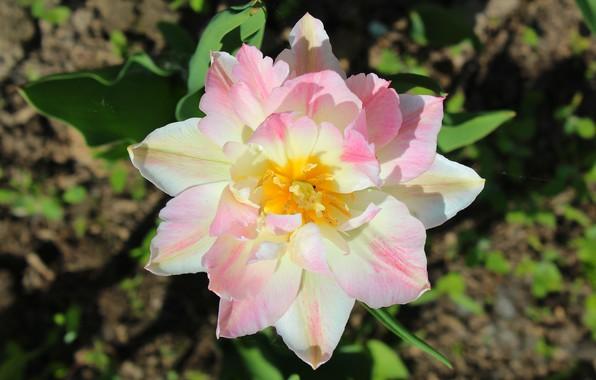 Картинка белый, лето, цветы, желтый, зеленый, розовый, нежный, тюльпан, солнечный