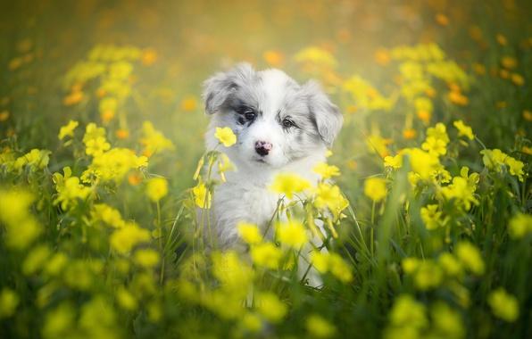 Картинка цветы, собака, щенок, боке, Бордер-колли