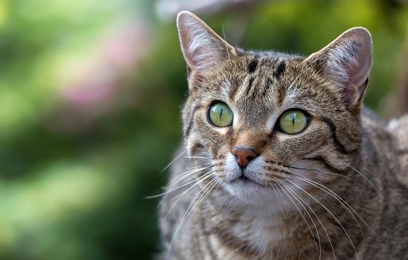 Картинка кошка, кот, взгляд, фон, портрет, мордочка