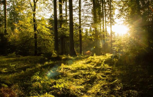 Картинка лес, деревья, солнечный свет