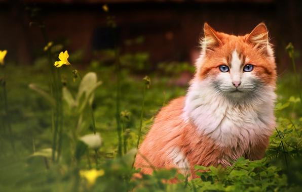 Картинка кошка, цветок, трава, кот, рыжий, смотрит