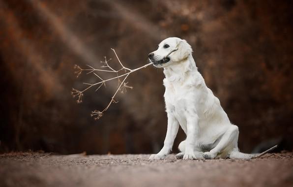 Картинка собака, ветка, боке, Голден ретривер, Золотистый ретривер