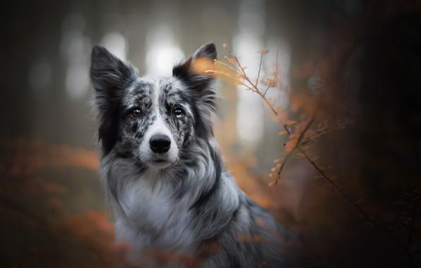 Картинка осень, взгляд, морда, ветки, собака, боке, Бордер-колли