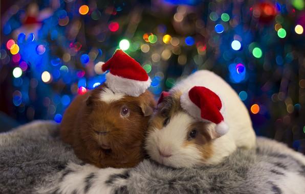 Картинка праздник, пара, шапочки, морские свинки