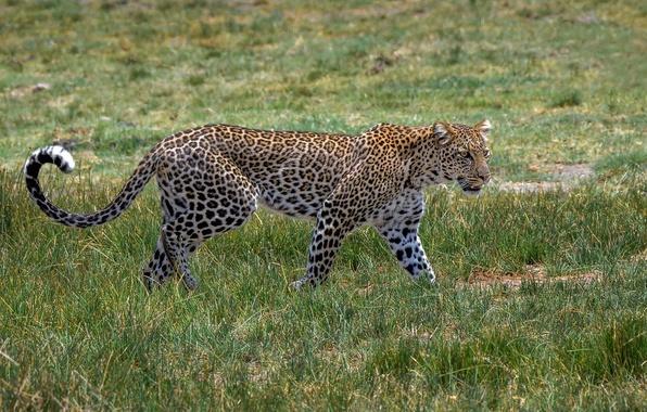 Картинка хищник, пятна, леопард, грация, Африка, окрас, дикая кошка