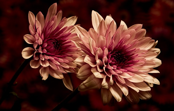 Картинка макро, цветы, темный фон, лепестки, двухцветные, георгины, махровые