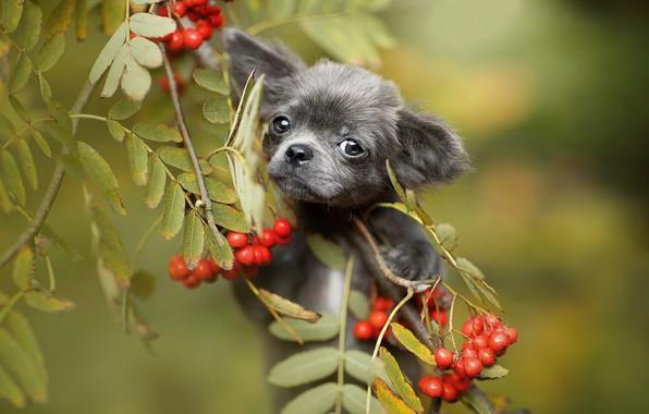 Картинка взгляд, листья, ветки, ягоды, щенок, мордашка, рябина, боке, пёсик