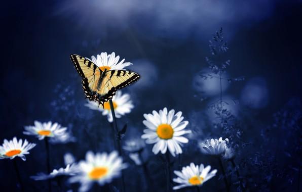 Картинка макро, цветы, природа, фон, бабочка, ромашки
