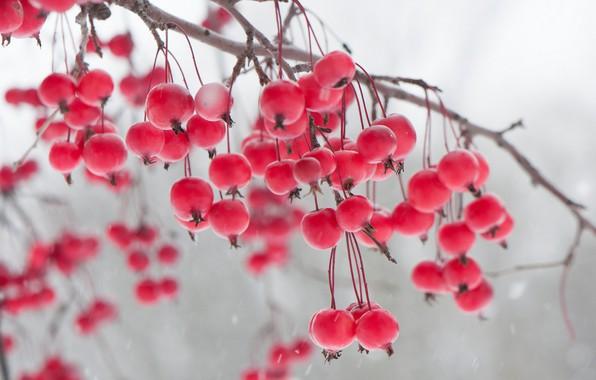 Картинка зима, ягоды, ветка