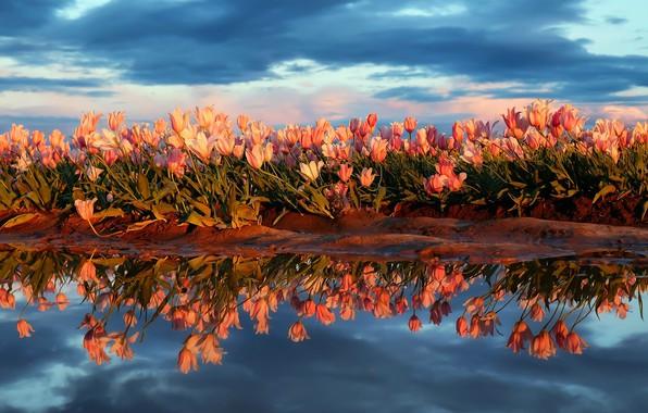 Картинка поле, небо, вода, цветы, природа, отражение, весна, тюльпаны