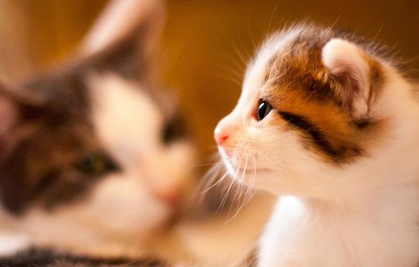 Картинка портрет, малыш, мордочка, профиль, котёнок, боке