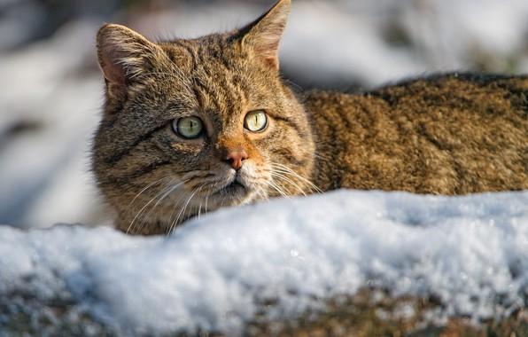 Картинка взгляд, морда, снег, Дикая кошка, Лесной кот